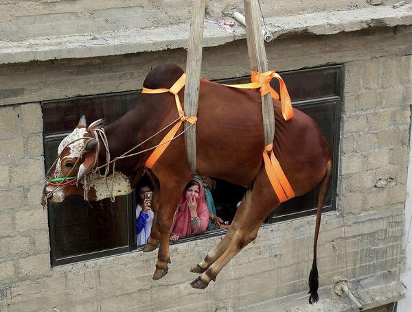 Быка снимают с крыши в Пакистане
