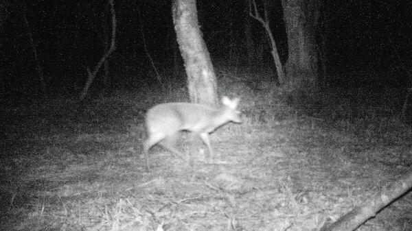 В Приморье сняли нового для фауны России клыкастного водяного оленя
