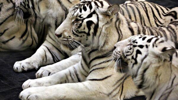 Белые тигра братьев Запашных