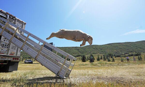 Овцы выпрыгивают из фургона на фестивале Soldier Hollow Classic Sheepdog Championship в штате Юта, США