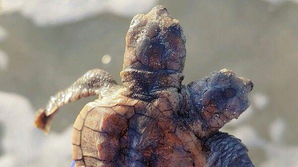 Черепашка с двумя головами, Южная Каролина