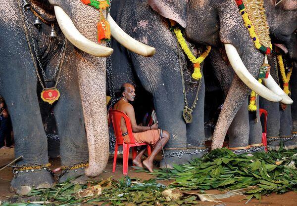 Махаут со слонами во время ежегодного фестиваля Онам в Кочи, Индия