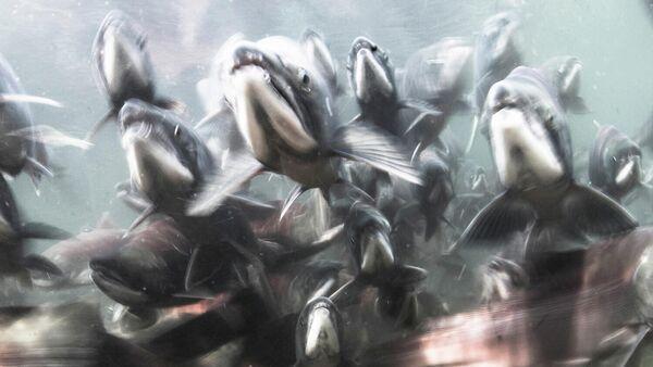 Победитель в номинации Подводный мир: Михаил Коростелев, Нерест