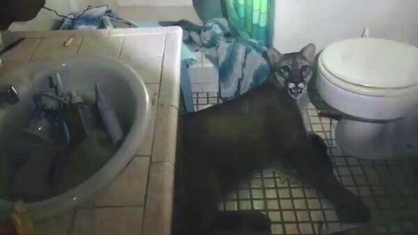 Пума в ванной комнате жилого дома в Калифорнии