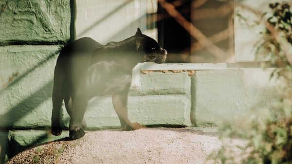 Черная пантера в зоопарке