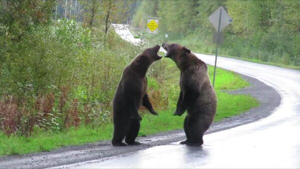 Два медведя гризли в канадской провинции Британская Колумбия. Стоп-кадр видео