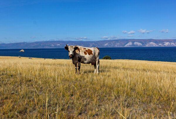 Корова на пастбище на острове Ольхон в Иркутской области