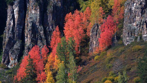 Сибирский лес на скалистом берегу Енисея в районе Дивногорска