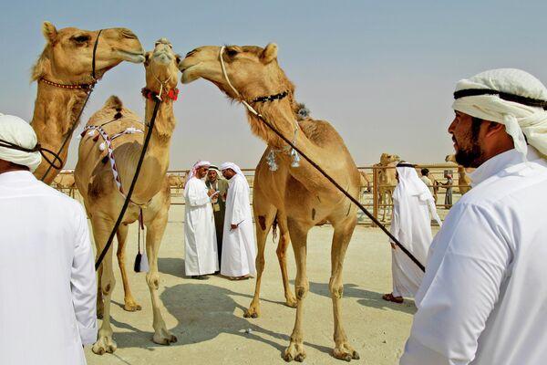 Фестиваль верблюдов Аль-Дафра в Абу-Даби