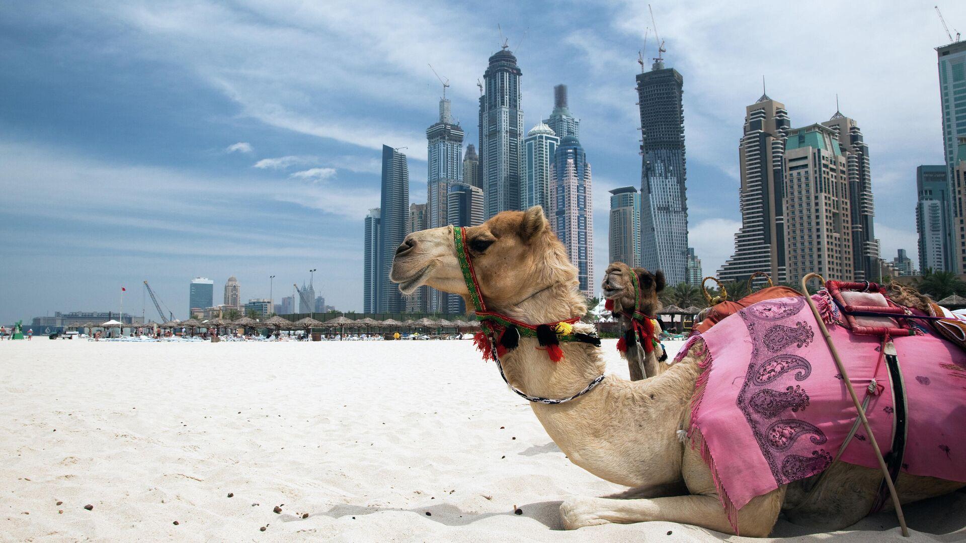 Верблюды в Дубае, ОАЭ - РИА Новости, 1920, 19.09.2020