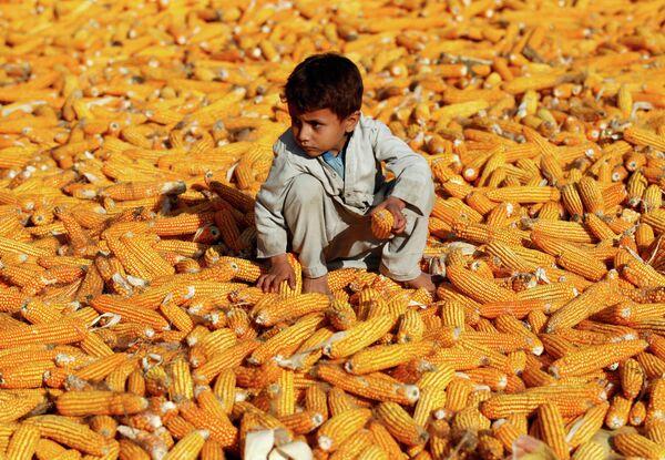 Мальчик сидит на початках кукурузы после сбора урожая, Афганистан