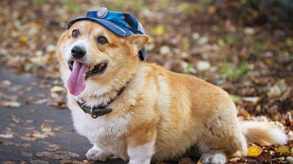 Первая собака породы вельш-корги пемброк на службе в российской полиции