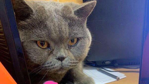 В Тобольске следователем возбуждено уголовное дело по факту кражи дорогостоящего кота