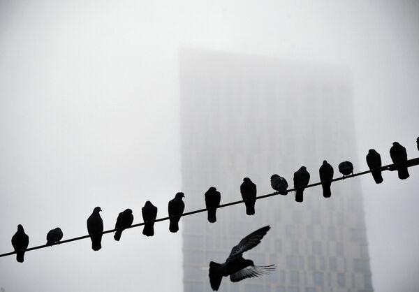 Голуби в туманный день в Москве