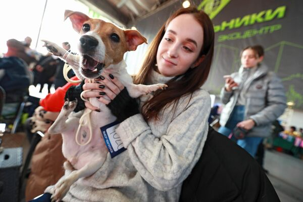 Собака породы джек-рассел-терьер на международной выставке собак в Москве