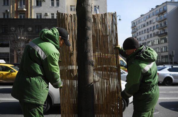 Работники коммунальной службы заменяют оплетку из бамбука на стволе дерева на Тверской улице в Москве