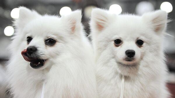 Собаки породы белый малый немецкий шпиц
