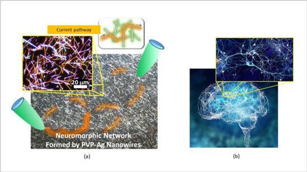 Слева - микрофотография нейроморфной сети, изготовленной исследователями. Сеть содержит многочисленные соединения между нанопроводами, которые действуют как синаптические элементы. Когда на сеть подается напряжение (между зелеными зондами), в сети образуются пути тока (оранжевого цвета). Справа - человеческий мозг и одна из его нейронных сетей