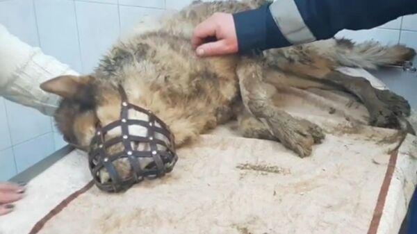 Собака, которая провалилась в заброшенный колодец в Еврейской автономной области