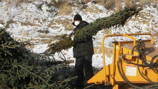 Рабочий комплекса по переработке и утилизации твердых бытовых отходов занимается утилизацией новогодних елок