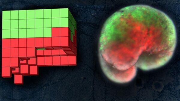 Сборка ксенобота из клеток кожи (зеленые) и сердечной мышцы (красные) лягушки в компьютере (слева) и in vivo (справа)