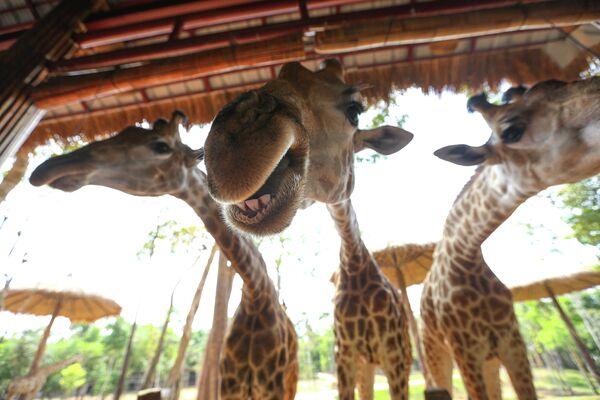 Жирафы в сафари-парке VinPearl на острове Фокуок во Вьетнаме