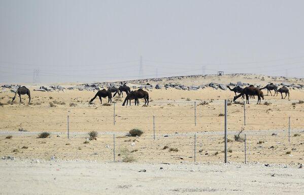 Верблюды пасутся в пустыне в Саудовской Аравии