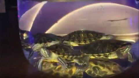 Кальян с живыми черепахами. Стоп-кадр видео