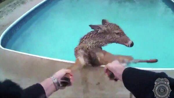 Полицейский спасает оленя из бассейна в штате Кентукки