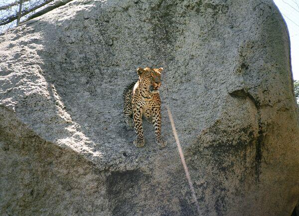 Дальневосточный леопард. Справка
