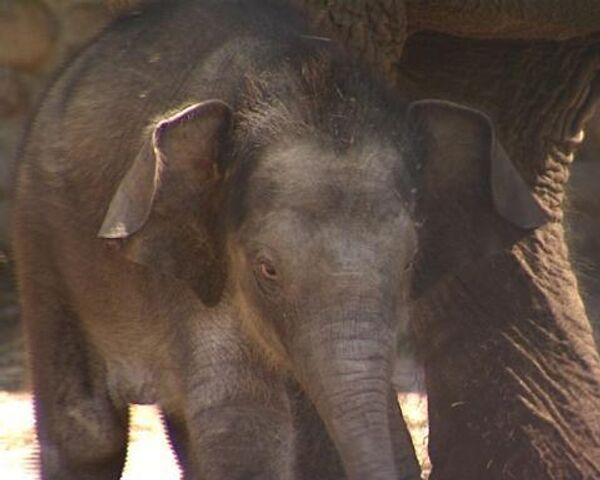 Новорожденный слоненок делает первые шаги в Московском зоопарке