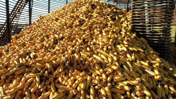 Кукуруза - вид однолетних травянистых растений семейства злаков