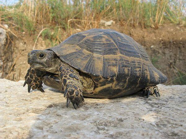 Беременная черепаха отшибла память китайской девочке