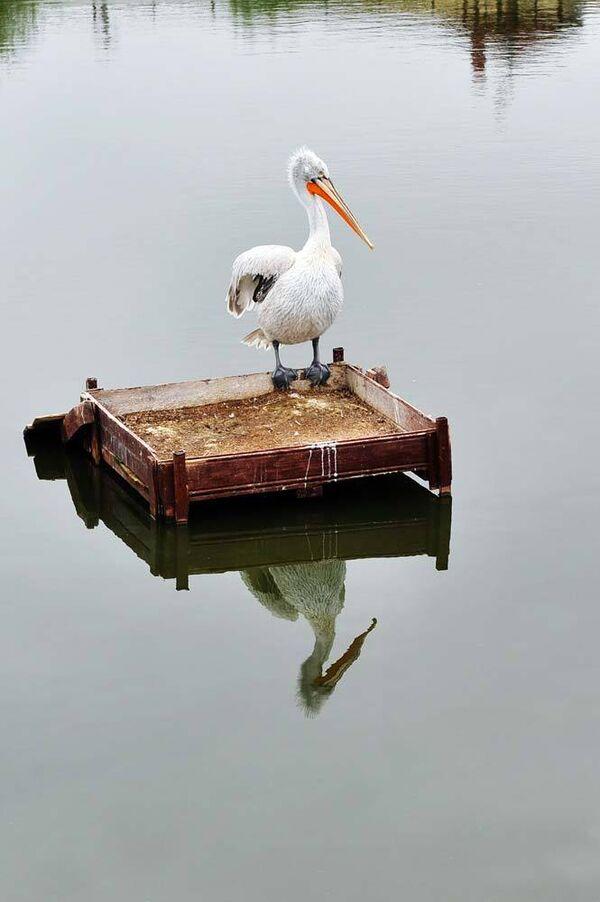 Пеликан. Архив