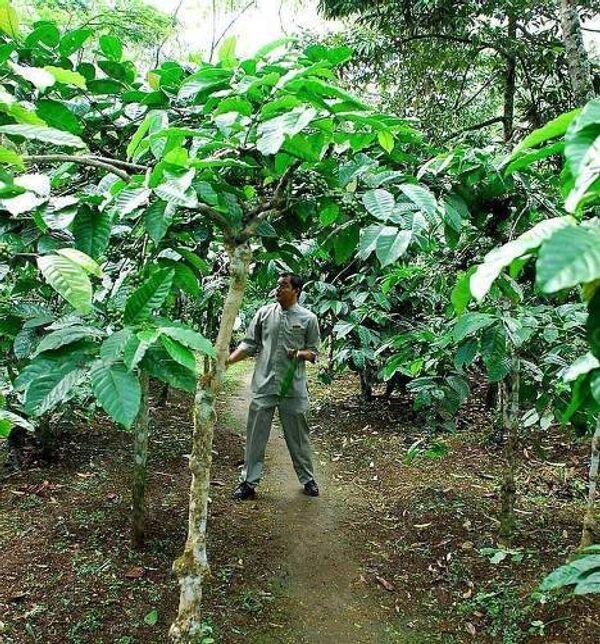 На кофейной плантации в Индонезии