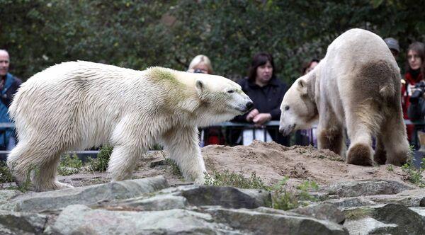Белые медведи Кнут и Джанна в Берлинском зоопарке