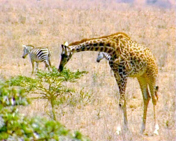 Домашние животные вытесняют диких с заповедных территорий