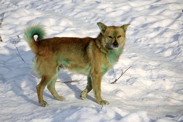 В Екатеринбурге стая бродячих собак позеленела