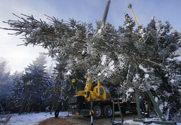 Главная новогодняя ель России спилена на территории лесничества в Московской области