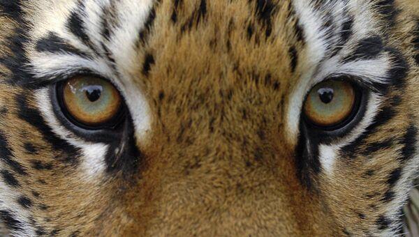 Тигрица. Архив