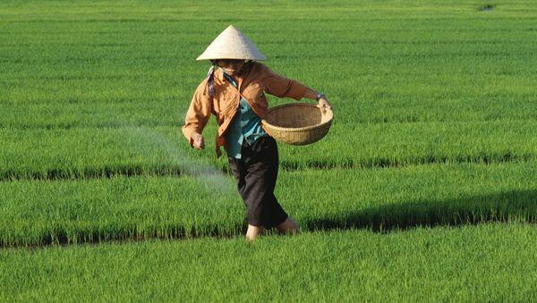 Рисовые поля в Центральном Вьетнаме. Архив