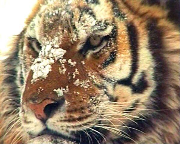 Амурский тигр на грани исчезновения: в России осталось всего 450 особей