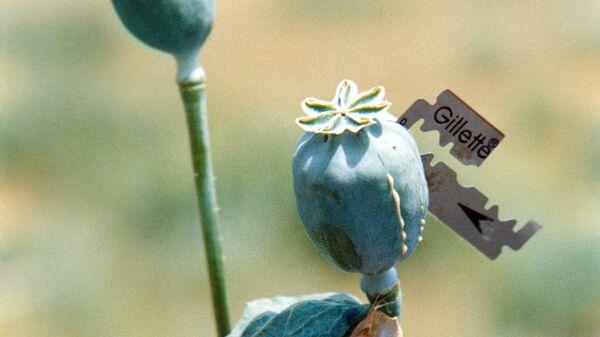Добыча сока мака для опиума