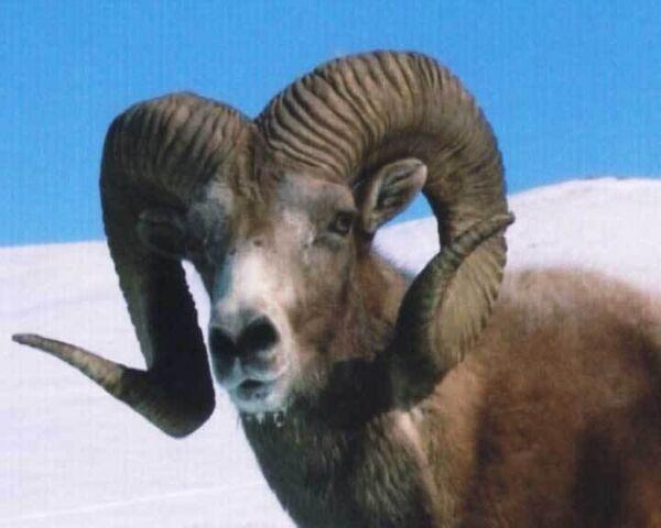 Священным архарам Алтая угрожают браконьеры и суровые зимы
