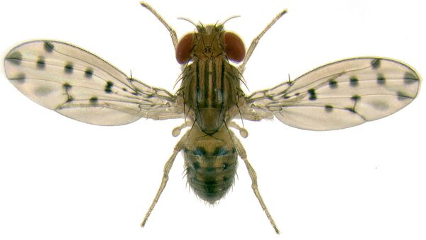 Муха Drosophila guttifera. Архивное фото