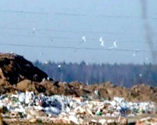 Скопление птиц на Шемякинской свалке угрожает безопасности авиарейсов