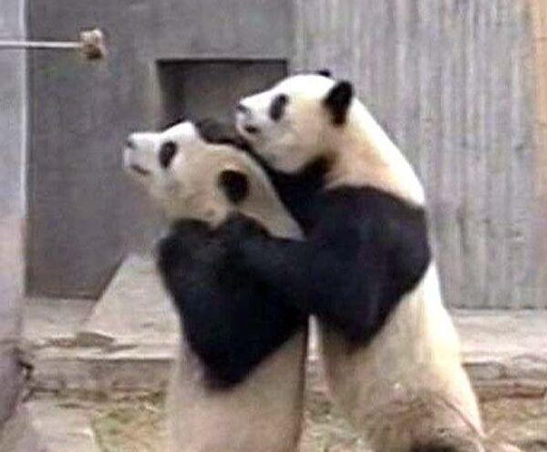 Школа для панд открылась в китайском заповеднике