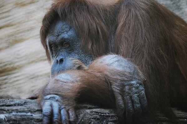Орангутан. Архив