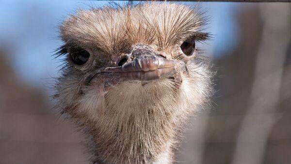 Африканский страус. Архивное фото
