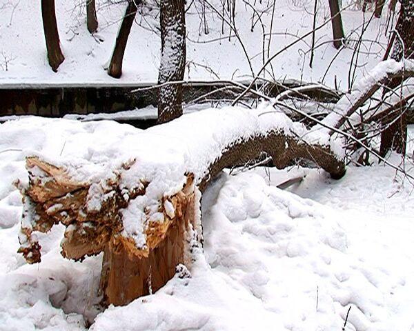 Деревья, согнувшиеся и сломавшиеся после ледяного дождя, погибнут